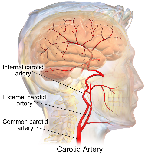 Image result for carotid arteries